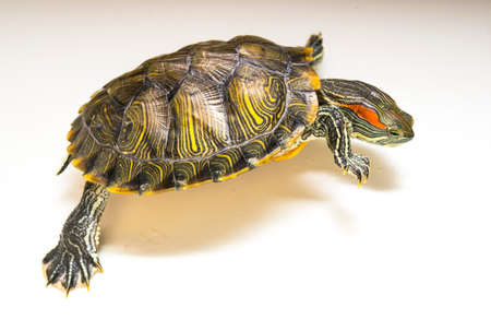 Red ear turtle escapes.White background. Stock Photo
