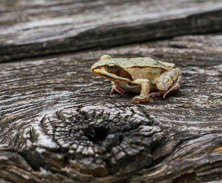 Grass frog, portrait, macro, close-up, sitting on a wooden surface.