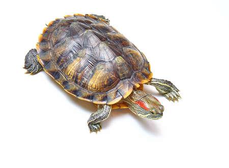 Red-eared turtle, Trachemys scripta on white isolated background. Yellow-bellied water turtle. Close up.