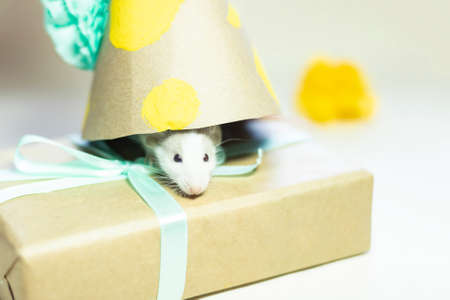 mouse poked its face out from under the cap on its birthday. Mouse-a gift for a happy birthday. Concept of happiness, holiday, gift