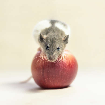 rat on a white background sits on a red Apple. Decorative rat or mouse Chinese symbol of new year 2020 and Christmas. The concept of celebration, fun.