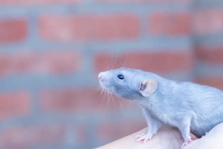beautiful mink blue rat sits on her arms. Decorative rat or mouse. Care and protection of mice and rats. The concept of holiday, fun. Charming pet. Stock fotó