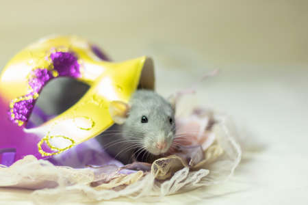 cute Dumbo rat sits on a carnival mask on a white isolated background. Decorative rat or mouse Chinese symbol of new year 2020 and Christmas. The concept of holiday, fun. Charming pet. Stock fotó