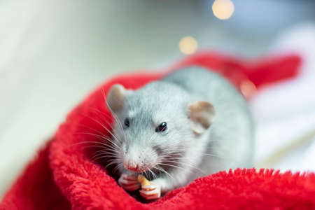 nice rat sitting in a Christmas hat. Decorative rat or mouse. Chinese symbol of new year 2020 and Christmas. The concept of holiday, fun. Charming pet