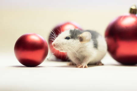 Dumbo rat sits near red Christmas balls on a white isolated background. Decorative rat or mouse Chinese symbol of new year 2020 and Christmas. The concept of holiday, fun. Charming pet.