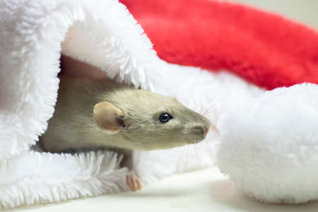 cute rat sitting in a Christmas hat. Decorative rat or mouse beige. Chinese symbol of new year 2020 and Christmas. The concept of holiday, fun. Charming pet.