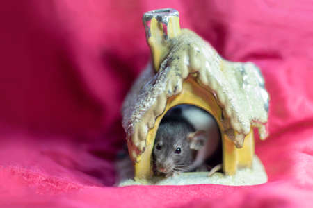 Cute pet rat sitting in a house on a red background. Decorative rat or mouse Chinese symbol of new year 2020 and Christmas. The concept of holiday, fun. Charming pet.