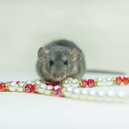 Cute pet rat sitting with pearls and beads on white background. Decorative rat or mouse. Chinese symbol of new year 2020 and Christmas. The concept of holiday, fun. Charming pet.