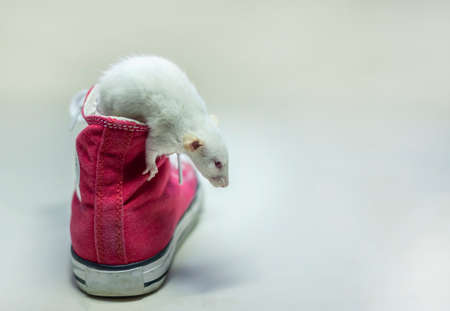 Cute white Dumbo rat sits in red Shoe, sneakers on white isolated background. Decorative rat or mouse Chinese symbol of new year 2020 and Christmas. The concept of holiday, fun. Charming pet.