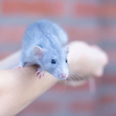 beautiful mink blue rat sits on her arms. Decorative rat or mouse. Care and protection of mice and rats. The concept of holiday, fun. Charming pet Stock fotó