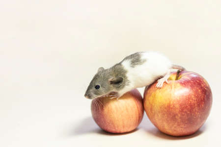 Cute pet rat sitting on Apple on white isolated background. Decorative rat or mouse Chinese symbol of new year 2020 and Christmas. The concept of holiday, fun. Charming pet. Stock fotó