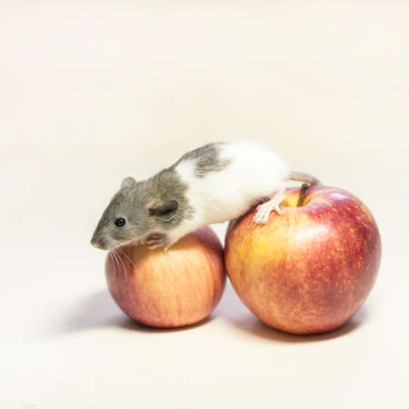 cute Dumbo rat sits on a red Apple on a white isolated background. Decorative rat or mouse Chinese symbol of new year 2020 and Christmas. The concept of holiday, fun. Charming pet. Stock fotó
