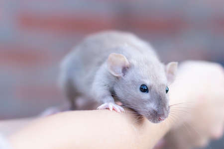 beautiful beige rat sits on his hands. Decorative rat or mouse. Care and protection of mice and rats. The concept of holiday, fun. Charming pet.