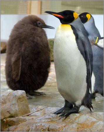Nice penguin filmed in Austria Vienn zoo
