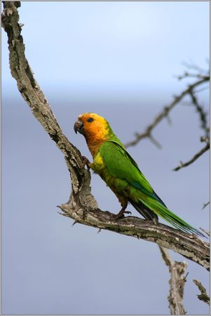 bonaire: Parrot on tree bonaire island