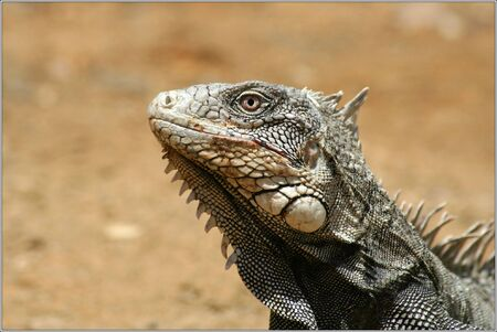 bonaire: Iguana portrait bonaire wild animal Stock Photo