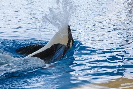 Orca whale  Banque d'images