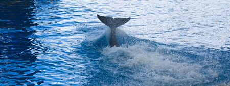 Orca whale  Stock Photo - 13308512