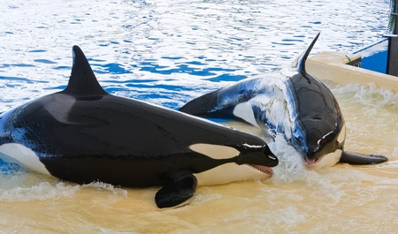 Orca whale Orcinus orca Show Loro Parque Tenerife  Canarian islands photo