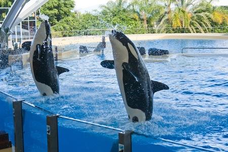 Orca whale Orcinus orca Show Loro Parque Tenerife  Canarian islands