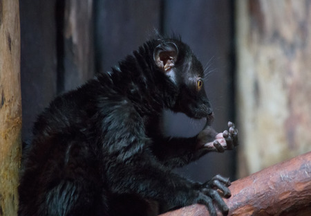 Lemur funny animal Фото со стока