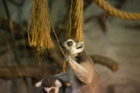 funny animal: Lemur funny animal Stock Photo