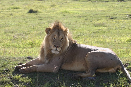 male lion wild dangerous mammal africa savannah Kenya Stock Photo