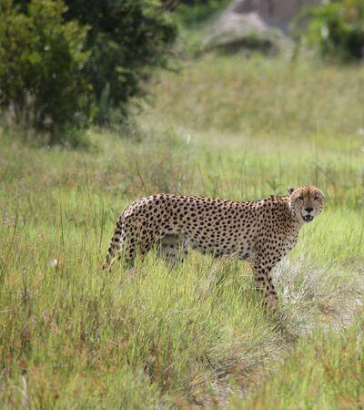 animal picture: Cheetah Botswana Africa savannah wild animal picture;