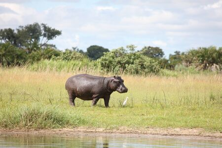 mammal: Wild Africa Botswana savannah African Hippo animal mammal Stock Photo