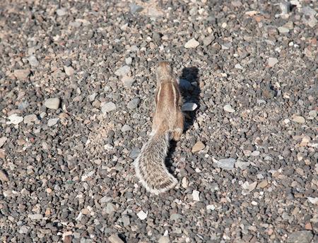 ardilla: animal divertido de la isla de Fuerteventura Islas Canarias de ardilla