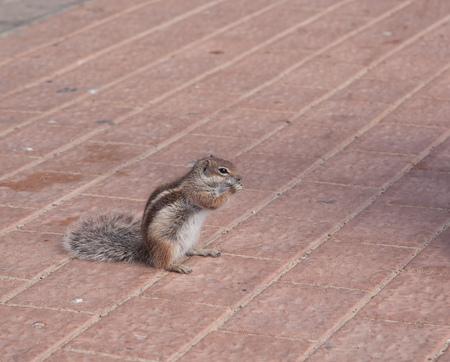ardilla listada: animal divertido de la isla de Fuerteventura Islas Canarias de ardilla