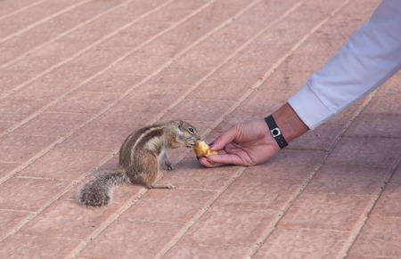 ardilla: chipmunk funny animal with Woman Fuerteventura island Canarian Islands