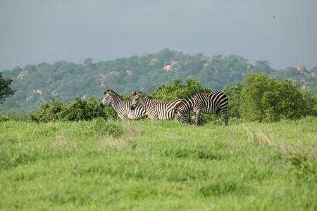 animal picture: Zebra Botswana Africa savannah wild animal picture