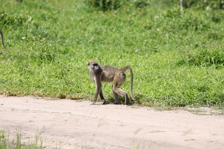 mammal: Wild monkey Africa field mammal animal