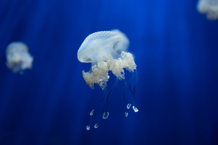 medusa: medusa jellyfish underwater diving photo egypt red sea Stock Photo