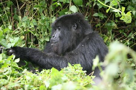 primates: Wild Gorilla animal Rwanda Africa tropical Forest