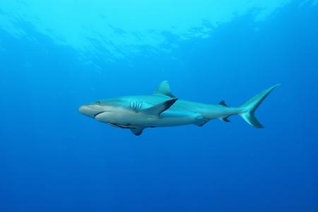 White Shark Dangerous big  Fish Papua New Guinea Pacific Ocean Stock Photo