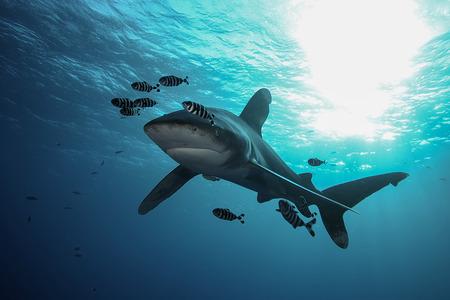 Dangerous big Shark Underwater safari Egypr Red Sea