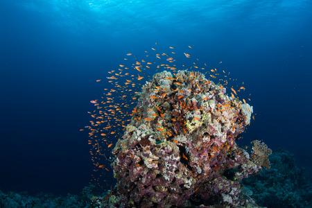 underwater ocean: coral life diving Sudan Soudan Red Sea safari