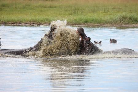 zimbabwe: Wild Hippo in African river water hippopotamus (Hippopotamus amphibius Foto de archivo