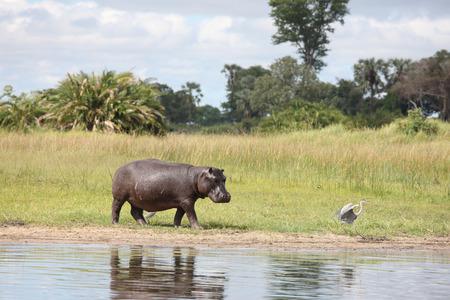 아프리카 하마 물소 (Hippopotamus amphibius)의 야생마