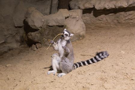 Lemur funny african animal mammal Madagascar Фото со стока
