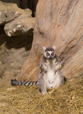species living: Lemur funny african animal mammal Madagascar Stock Photo