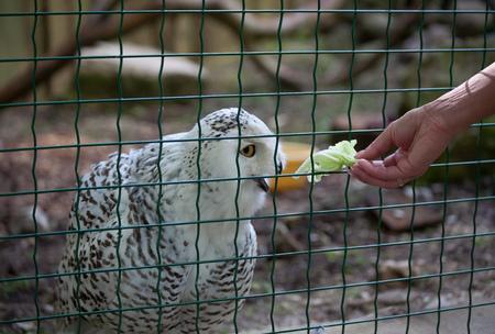 nocturnal: Owl predatory forest bird russia siberia Russian Federation Stock Photo