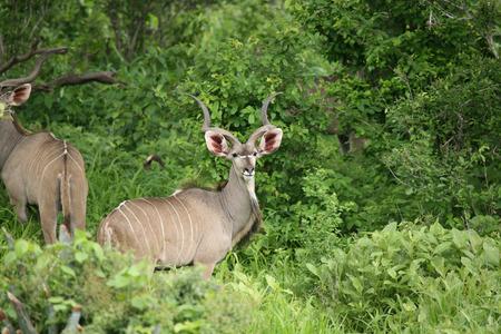 Wild Antelope mammal in African Botswana savannah