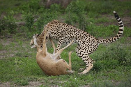 spotted fur: Cheetah Botswana Africa savannah wild animal mammal