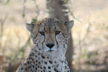 Cheetah Botswana Africa savannah wild animal mammal