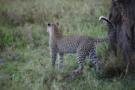 spotted fur: Leopard Kenya Africa savannah wild animal cat mammal
