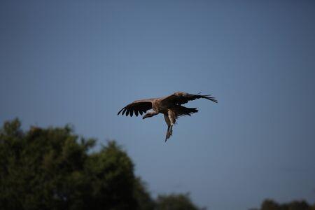 Wild Griffon Vulture Africa savannah Kenya dangerous bird Stock Photo