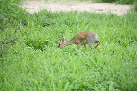 Wild Impala Antelope in African Botswana savannah